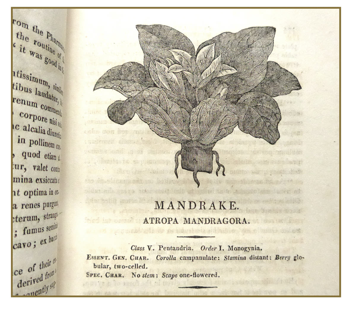 Illustration of mandrake by Bewick in Thornton's Herbal